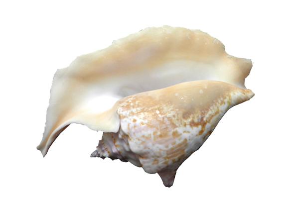 Κοχύλια Strobus Gallus