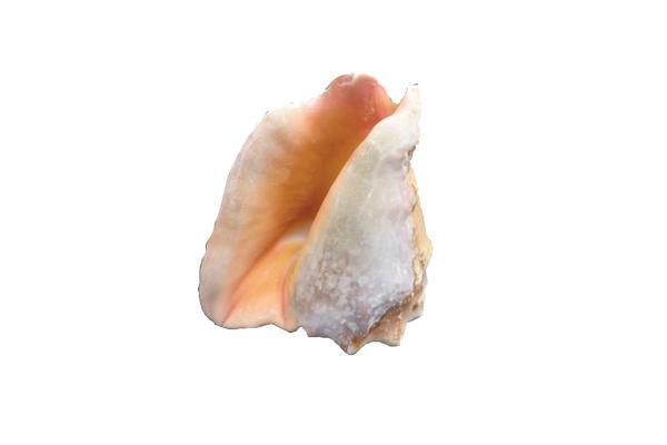 Κοχύλια Strobus Peruvianus