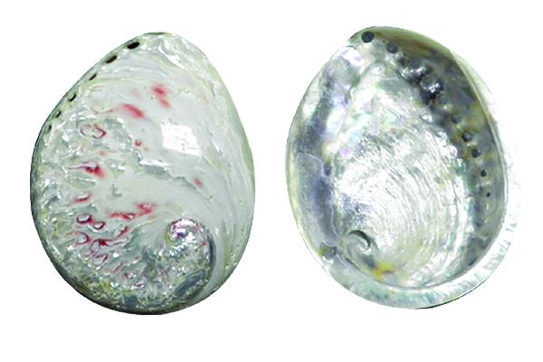 Κοχύλια Abalone Λευκο-Κοκκινο Γυαλισμένο