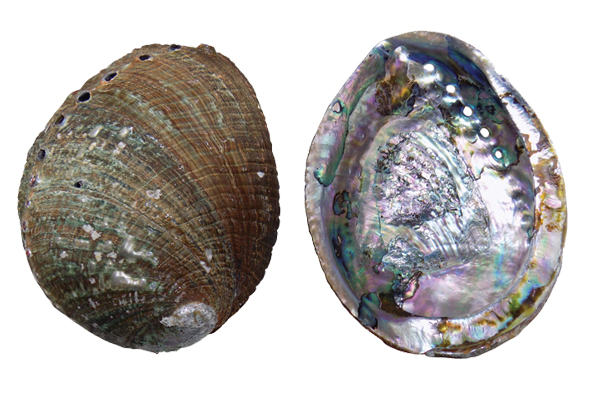 Κοχύλια Abalone Fulgens