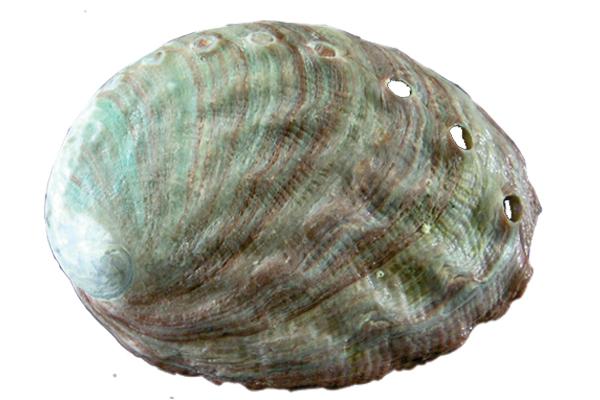 Κοχύλια Abalone Κοκκινο