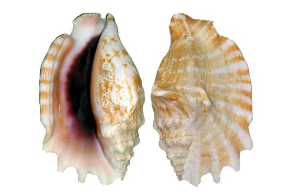 Κοχυλια Sinuatus