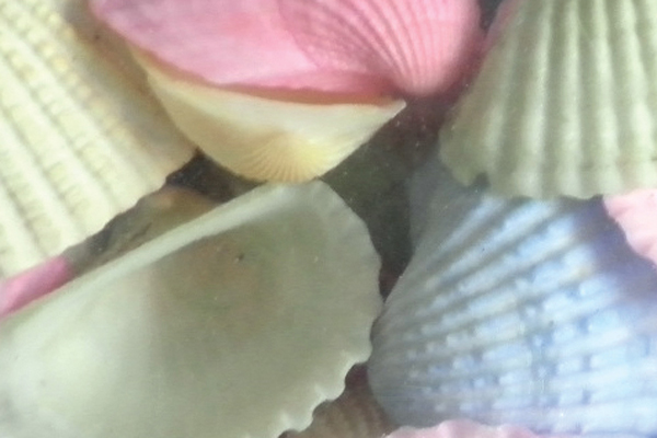 Κοχυλια Cardium Χρωματιστό Μεγάλο