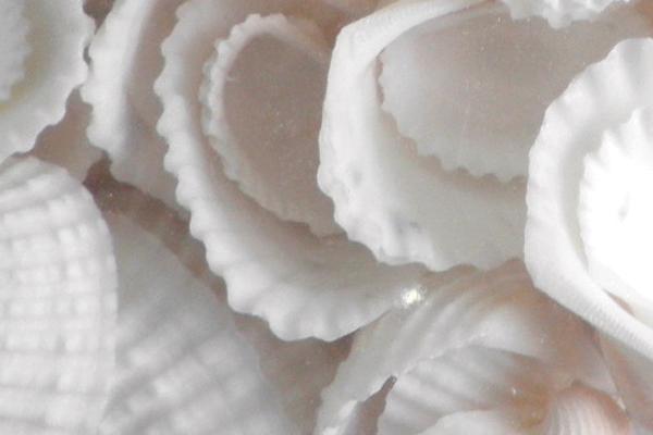 Κοχυλια Cardium Λευκο Μεγάλο