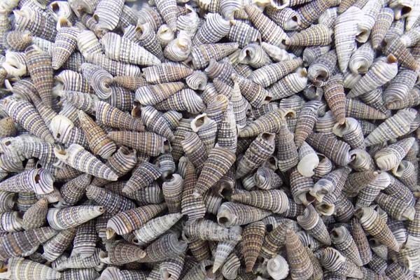 Κοχυλια Cerithium Moniferous