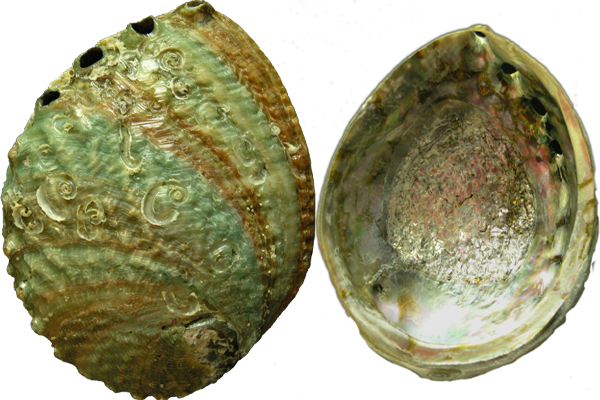 Κοχύλια Abalone Corougata