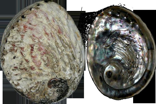 Κοχύλια Abalone Haliotis