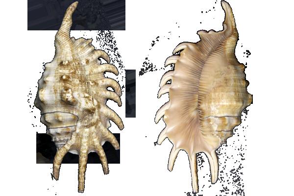 Κοχυλια Lampis Milipeda 4-5''
