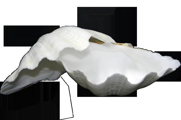 Κοχυλι Αχιβάδα Λευκή Μονή