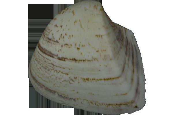 Κοχυλια Longotsiana Ζεύγος