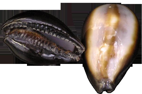 Κοχυλια Cyprea Onyx