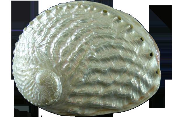 Κοχύλια Abalone Corougata