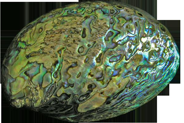 Κοχύλια Abalone Paua