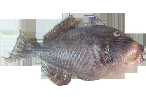 Ψάρι Triger