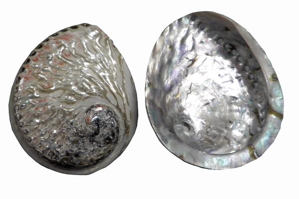 Κοχύλια Abalone Γυαλισμένη